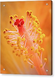 Acrylic Print featuring the photograph Hibiscus-1 by David Coblitz