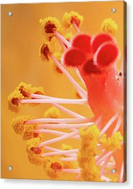 Acrylic Print featuring the photograph Hibiscus-2 by David Coblitz