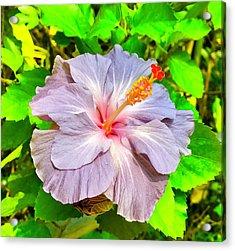 Hibiscus Adele 1 Acrylic Print