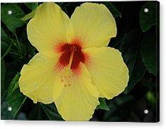 Sun Lover Hibiscus Acrylic Print