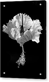 Hibiscus As Art 2 Acrylic Print