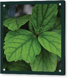 Hibiscus Bud 1 Acrylic Print