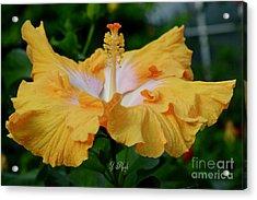 Hibiscus Golden Mist Acrylic Print