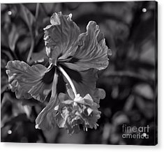 Acrylic Print featuring the photograph Hibiscus In Blackwhite by Ken Frischkorn