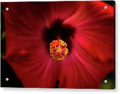 Hibiscus Acrylic Print by Jay Stockhaus