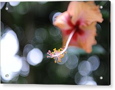 Hibiscus Acrylic Print by Jessica Rose
