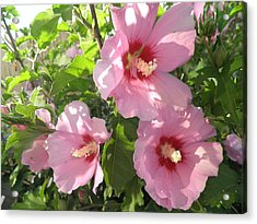 Hibiscus Acrylic Print by Kate Gallagher