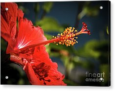 Hibiscus Macro Acrylic Print by Robert Bales