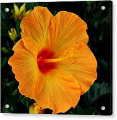 Hibiscus Acrylic Print by Marilynne Bull