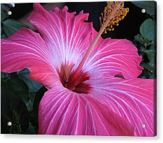 Hibiscus Photograph Acrylic Print by Barbara Yearty