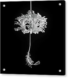 Hibiscus Schizopetalus Against A Black Background In Black And White Acrylic Print