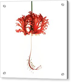 Hibiscus Schizopetalus On White Acrylic Print
