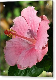 Hibiscus Shadow  Acrylic Print by Kim
