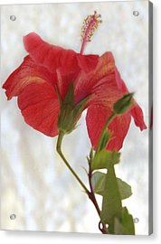 Hibiscus Acrylic Print by Terence Davis