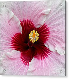 Hibiscus With Cherry-red Center Acrylic Print