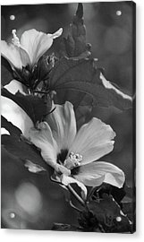 Hibiscus5586 Bw Acrylic Print by Carolyn Stagger Cokley