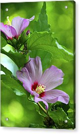 Hibiscus5586 Acrylic Print by Carolyn Stagger Cokley