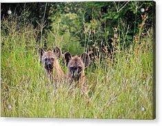Hide-n-seek Hyenas Acrylic Print