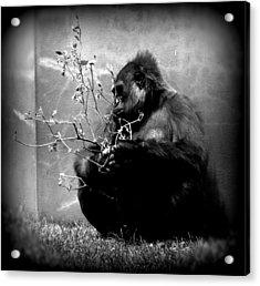 Hiding Gorilla Acrylic Print by Emily Kelley