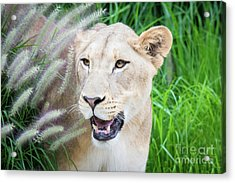 Hiding In Grass Acrylic Print