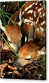 Hiding Twin Whitetail Fawns Acrylic Print