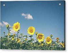 Hierarchy Of Sunflowers Acrylic Print by Cheryl Baxter