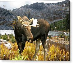 High Country Moose Acrylic Print by Robert Bissett
