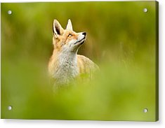 High Hopes - Red Fox Looking Up Acrylic Print by Roeselien Raimond