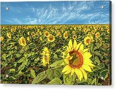 High Plains Sunflowers Acrylic Print