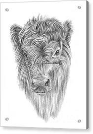 Highland Calf Acrylic Print
