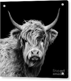 Highland Coo Acrylic Print by Linsey Williams