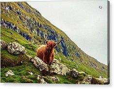Highland Cow 2 Acrylic Print