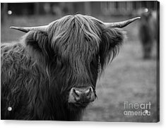 Highland Cow, 2015 - Farm Animal In Black And White Acrylic Print