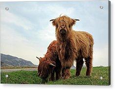 Highland Cow Calves Acrylic Print
