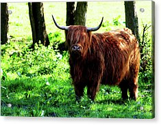 Highland Cow Acrylic Print by Dan Pearce