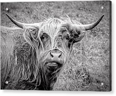 Highland Cow Acrylic Print by Jeremy Lavender Photography