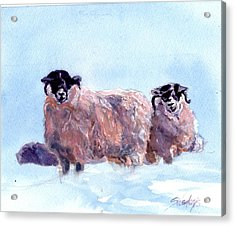 Highland Sheep Acrylic Print
