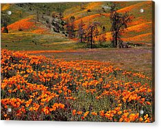 Hills Of Orange Near Antelope Valley Poppy Preserve In California Acrylic Print by Jetson Nguyen