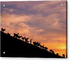 Acrylic Print featuring the photograph Hillside Elk by Darren White