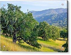 Hillside Oaks Acrylic Print