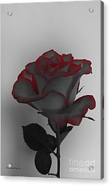 Hints Of Red- Single Rose Acrylic Print