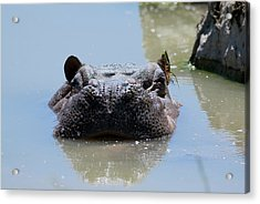 Acrylic Print featuring the photograph Hippo by JT Lewis