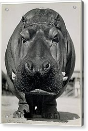 Hippo Love Acrylic Print by Cco