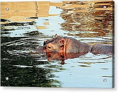 Hippo Scope Acrylic Print by Jan Amiss Photography