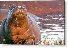 Hippo Snacks Acrylic Print