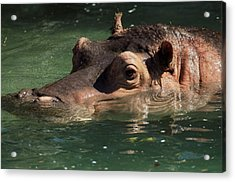 Acrylic Print featuring the photograph Hippopotamus In Water by JT Lewis