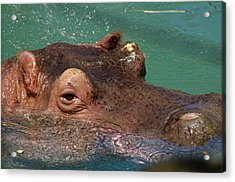 Acrylic Print featuring the photograph Hippopotamus by JT Lewis
