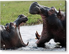 Hippos Fighting Acrylic Print