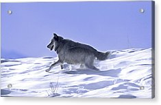His Majesty Druid Wolf 21m Acrylic Print