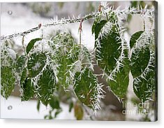 Hoarfrost On Green Leaves Acrylic Print